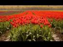 4K UHD Agassiz Tulip Festival, British Columbia, Canada