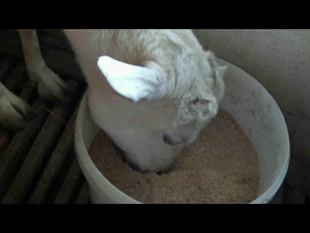 Дойка коз доильным аппаратом.