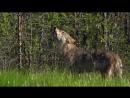 Wolves. Summer. Howl. Волки. Лето. Вой. дикий мир и поведение животных в нем.