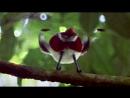 BBC Живой мир Мир природы Райские птицы - BBC Natural World. Birds of Paradise 2010
