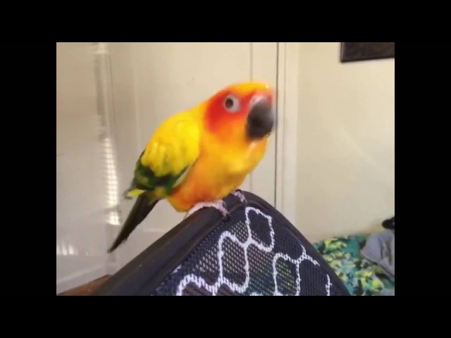 Parrot ayy lmaos fast to Dragonforce music meme