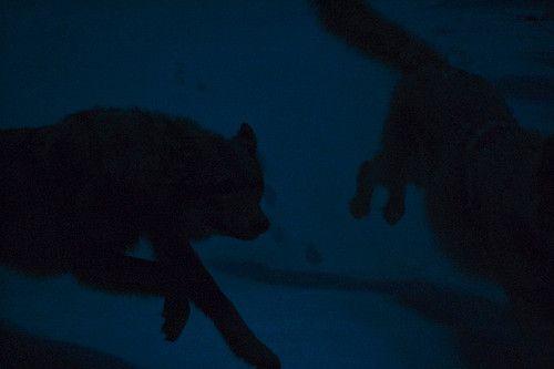 темные волки на темном фоне