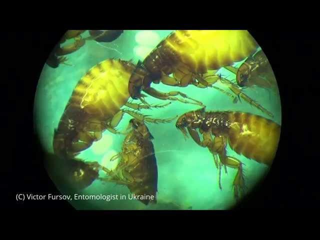 Блоха Под Микроскопом Как Подковать Блоху Рассказ Entomologist in Ukraine 03.03.3015
