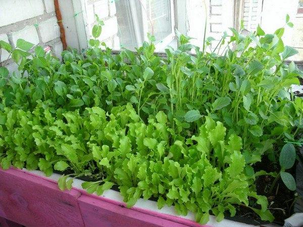 как вырастить зелень на окне, подоконнике