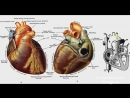 Биология в картинках_ Строение сердца человека (Вып. 18)