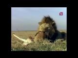 «Борьба за выживание – Царица зверей» (Документальный, животные, 1989)