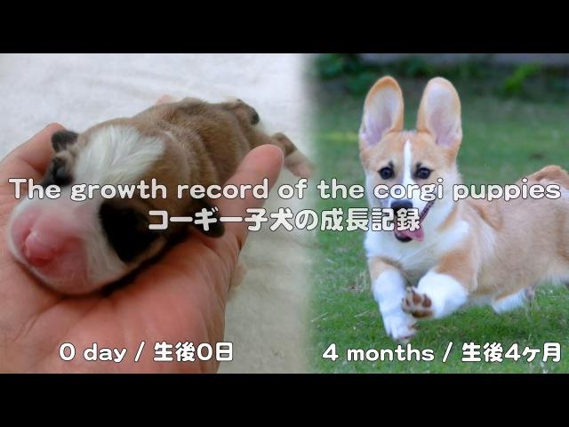 Cute corgi puppies growth record コーギー子犬の成長記録 20130527 - 20130928 Goro@Welsh corgi