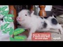 Piglet loves rihanna's work