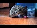Ёжик кушает яблочко
