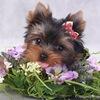 Йорки - самые прекрасные собачки на свете!