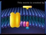 G-Protein Receptor Activation Video...