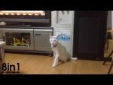 Белый прямоходящий кот ходит на задних лапах как человек / White Cat Momotaro Walks Backwards on Hind Legs
