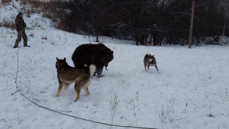 Хруст и Вьюга Западносибирские лайки! Притравка на медведя 24 января 2015 года.