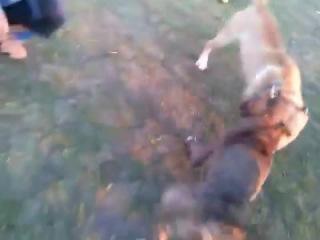 Собачьи бои питбуль vs стафорд