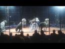 Цирк Максимус Бенгальские тигры (альбиносы)