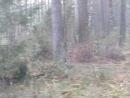 Косуля.Снял видео на загонной охоте на кабана.
