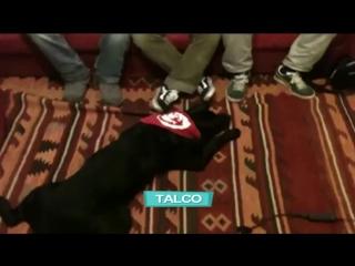 Кубаноиды - Talco