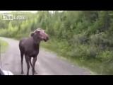 Kanada Geyiği Arabaya Böyle Saldırdı