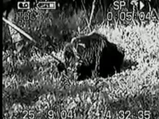 Гибель лайки на притравке по медведю