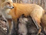 Прекрасная мама-лиса кормит своих детенышей. Как некоторые люди могут получать удовольствие от убийства и ношения меха этих прек