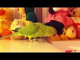 Злыдня моя. ожереловый попугай