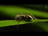 Кордицепс однобокий(лат. Ophiocordyceps unilateralis). Заражённый муравей.