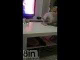 Серый кот перс сидит на столе и роняет стакан после просьбы хозяйки не делать этого / Gato Malo Cat Knocks Glass Off Table