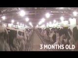 Жизнь телёнка Бенни с 30-ти секунд до 4 месяцев СпасиБо за животных - Mercy For Animals Benny's Life