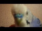 мой попугай поет песню