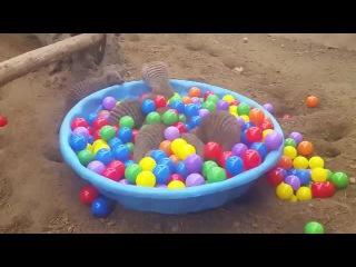 Мангусты и шарики