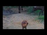 Дикая природа. Африка. Буйволы и буйволята у водопоя. Wildlife of the Africa. Buffalo and buffalo calves at waterhole 16.02.2015