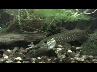 How a pike swallows a fish 20091101 (Northern pike, Esox lucius)