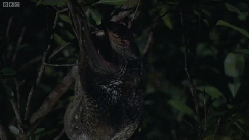 Малайский шерстокрыл [bbc.co.uk/nature/life/Sunda_Flying_Lemur]