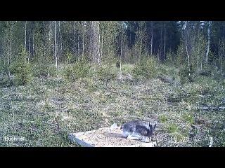 заяц-беляк, весна (запись с фотоловушек)
