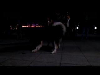Собачьи бои аляскинский маламут vs ротвейлер