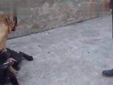 Собачьи бои канарский дог vs кане-корсо
