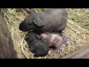 Морские свинки скинни - дети (менее суток), мама, папа, друг семьи