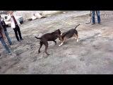 Собачьи бои гуль донг VS стафф 2
