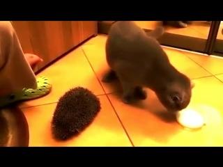 Как кот может использовать ежика