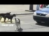 Бандитская жизнь животных, тру гангстеры, бандиты и хаслы, подборка приколов, Thug Life