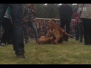 Собачьи бои чемпионат в Китае 2014 английский мастиф vs канарский дог