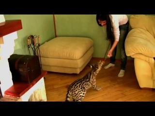 Редкая порода кошки Ашера
