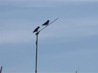 Егиндыбулак - Говорящая ворона