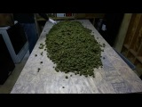 Много сушеных шишек марихуанны