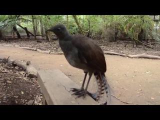Птица издаёт звуки лазерной пушки!