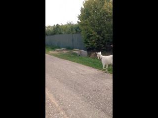 Бешеная коза