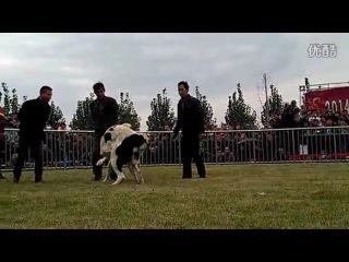 Чемпионат в Китае 2014 алабай VS кангал