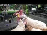 атака баранов в баре