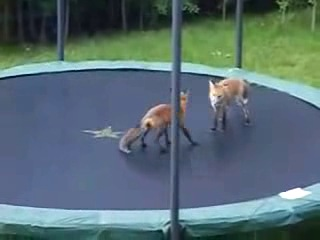 Лисиці на батуті