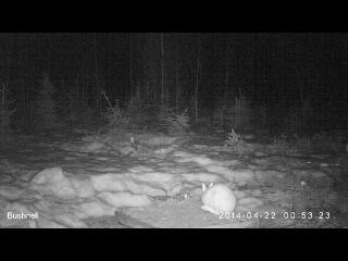 заяц-беляк, зима (запись с фотоловушек)